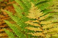 fall ferns 8 x 10