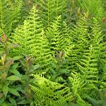 """ferns 2 artistic rendering"" by naturally"