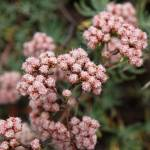 """California Buckwheat - Eriogonum arborescens"" by Sonja"