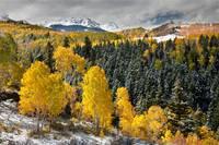 Aspen Grove In Late Autumn