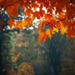 """Orange Leaves"" by rmcbuckeye"
