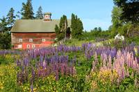 Wildflowers and Red Barn