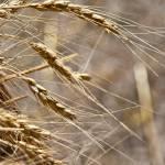 """Hanging Wheat Grains"" by SamSherman"