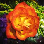 """Orange Rose I saw at Kroger"" by imelda"