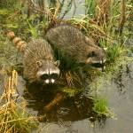 """Two Raccoons"" by Floodwater"
