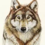 """European wolf"" by patriziadonaera"