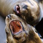 """Sea Lion Duet"" by danlward"