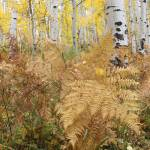 """Ferns and Aspens"" by EricGlaser"