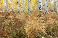 Ferns and Aspens