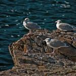 """3 Seagulls Resting"" by SamSherman"
