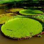 """Giant Lily Pads (3)"" by ButchOsbornePhotography"