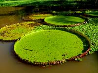 Giant Lily Pads (3)
