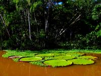 Giant Lily Pads (5)