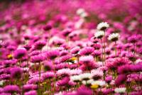 Pink Everlastings II