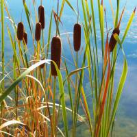 """Wildflower - Typha Latifolia Flower"" by artsandi"
