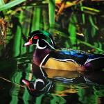 """Wood Duck"" by rsummers"