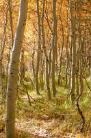 Forest of Aspen trees (Fall)