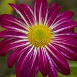 """Purple Aster Flower Power"" by lightningman"