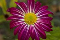 Purple Aster Flower Power