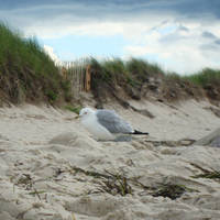 Gull in the Dunes