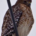 """Hawk on a Wire"" by wildsagestudios"