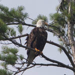 """Bald Eagle 8"" by wildsagestudios"