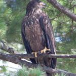 """Eagle 4"" by wildsagestudios"