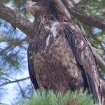 """Eagle 2"" by wildsagestudios"
