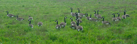 Canda Geese Pit Stop