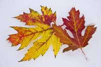 Two Autumn Maple Leaves