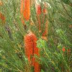 """Banksia"" by magicmoments"