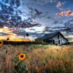 """Sunflowers and Old Barn on the Prairie"" by mbryan777"