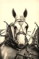 Percheron Mule