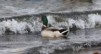 Mallard ducks getting hit by waves