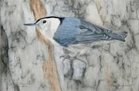 White-breasted Nuthatch 16x10.5