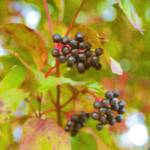 """Blackberries"" by DaveScott"