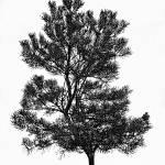 """Lonesome Pine"" by DaveScott"