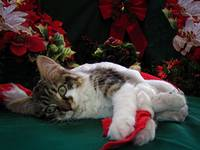 Xmas Scene, Kitten Lost in Thought, Kitty Cat Eyes