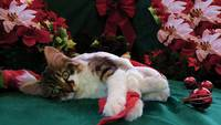 Xmas Cat,Baby Maine Coon Kitten Staring at Nothing