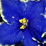 """African Violet"" by RaspberryDiamondsPhotography"
