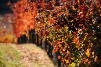 Autumn Vines
