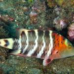 """Redbreasted Wrasse"" by The_World_Underwater"