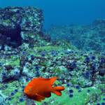 """Garibaldi"" by The_World_Underwater"