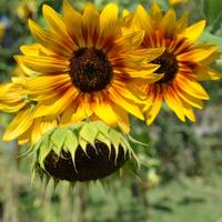Red and Yellow Sunflower Garden