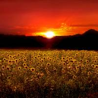 Sunflower Sunset Art Prints & Posters by Joan Wilcox- Glanville