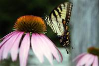Tiger Swallowtail/Coneflower 2
