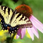 """Tiger Swallowtail/Coneflower 5"" by eshramko"