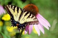 Tiger Swallowtail/Coneflower 5