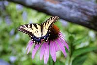 Tiger Swallowtail/Coneflower 6