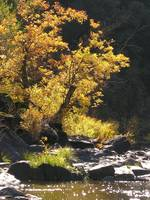 Autumn tree on Merced River